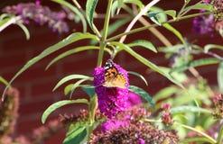 Бабочка дамы на кусте бабочки Стоковое фото RF