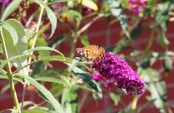 Бабочка дамы на кусте бабочки Стоковые Изображения RF