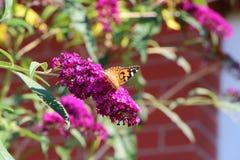 Бабочка дамы на кусте бабочки Стоковые Фото