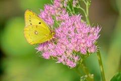 Бабочка белянки стоковые фото
