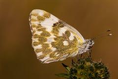 Бабочка белизны ванны Стоковая Фотография RF