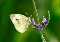 Бабочка белизны капусты на лаванде Стоковые Фото