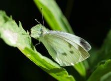 Бабочка белизны капусты Стоковое фото RF