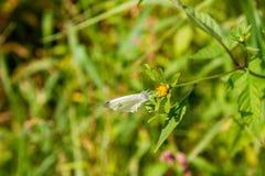 Бабочка белизны капусты Стоковое Фото