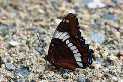 Бабочка белого адмирала стоковое фото rf