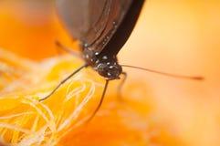 Бабочка Брайна всасывает нектар от пальмиры стоковое фото rf