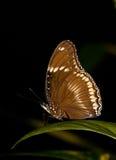 Бабочка Брайна на заводах лист Стоковое Изображение
