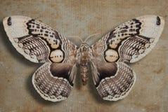 Бабочка Брайна на старой бумажной предпосылке Стоковая Фотография
