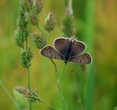 Бабочка Брайна на траве Стоковое Изображение