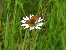 Бабочка Брайна сидя на маргаритке стоковое фото