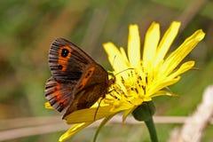 Бабочка Брайна (pronoe erebia) Стоковое фото RF