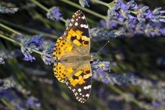 Бабочка Ванесса Атлант на цветке Стоковое Изображение