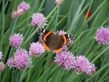 Бабочка Ванессы Atalanta Стоковое Фото