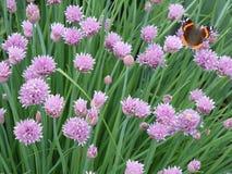 Бабочка Ванессы Atalanta Стоковое Изображение