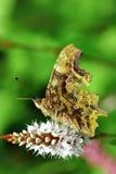 Бабочка вопросительного знака Стоковые Фото
