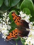 Бабочка вопросительного знака стоковое изображение rf