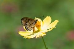 Бабочка всасывая нектар от цветков Стоковое Изображение