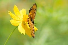 Бабочка всасывая нектар от цветков Стоковые Изображения