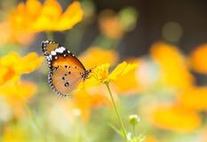 Бабочка всасывая нектар от цветков Стоковое Изображение RF