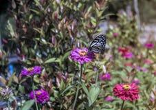 Бабочка всасывая нектар от цветков Стоковое фото RF