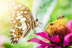 Бабочка всасывая нектар Zinnia цветков Стоковое Изображение