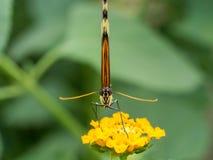 Бабочка вытаращить на камере Стоковое Фото
