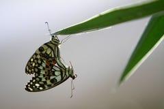 Бабочка в влюбленности Стоковое Изображение RF