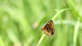 Бабочка в зеленом поле сток-видео