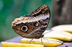 Бабочка в Коста-Рика Стоковые Фотографии RF