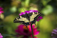 Бабочка в моем саде Стоковое Изображение