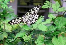 Бабочка в полете Стоковые Изображения RF
