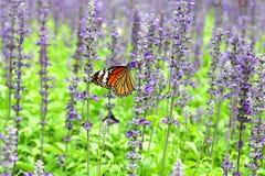 Бабочка в поле лаванды Стоковые Изображения RF