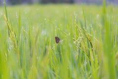 Бабочка в поле риса Стоковое Изображение RF