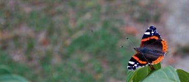 Бабочка в природе Стоковое Изображение