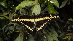 Бабочка в черноте и желтом цвете стоковые фотографии rf