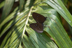 Бабочка - голубой стекловидный тигр стоковые изображения