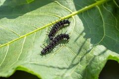 Бабочка гусеницы глаза ` s павлина вползает на лист стоковые фото