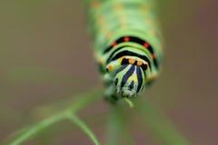 Бабочка гусеницы Стоковые Изображения