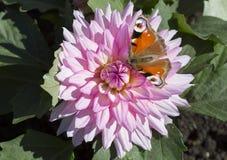 Бабочка глаза павлина на цветке розового георгина Стоковая Фотография RF
