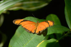 Бабочка Джулии или Flambeau (Dryas Iulia) стоковое фото rf