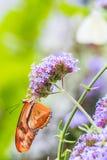 Бабочка Джулии, конец вверх по съемке макроса стоковое фото