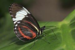 Бабочка Дориса сидя на зеленых лист Стоковые Фотографии RF
