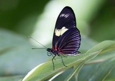 Бабочка Дориса Longwing макроса Стоковая Фотография RF