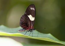 Бабочка Дориса Longwing макроса Стоковые Фото