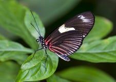 Бабочка Дориса Longwing макроса Стоковое Изображение RF