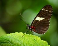 Бабочка Дориса Longwing (Heliconius Дорис) Стоковые Изображения