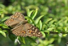 Бабочка дунутая крупным планом запятнанная деревянная стоковое изображение