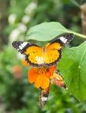 Бабочка есть масло Стоковое фото RF