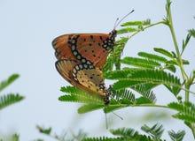 Бабочка летания Стоковая Фотография