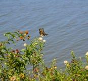 бабочка летая гигантские thoras swallowtail heraclides к телезрителю нижней стороны Стоковое Изображение RF